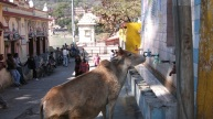 mucca che beve